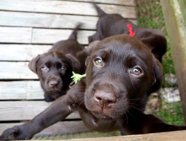 21 Adorable Chocolate Labrador Puppy Photos on Wear Wag Repeat