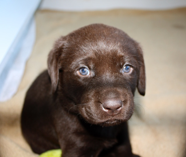 Adorable Chocolate Labrador Puppy Photos