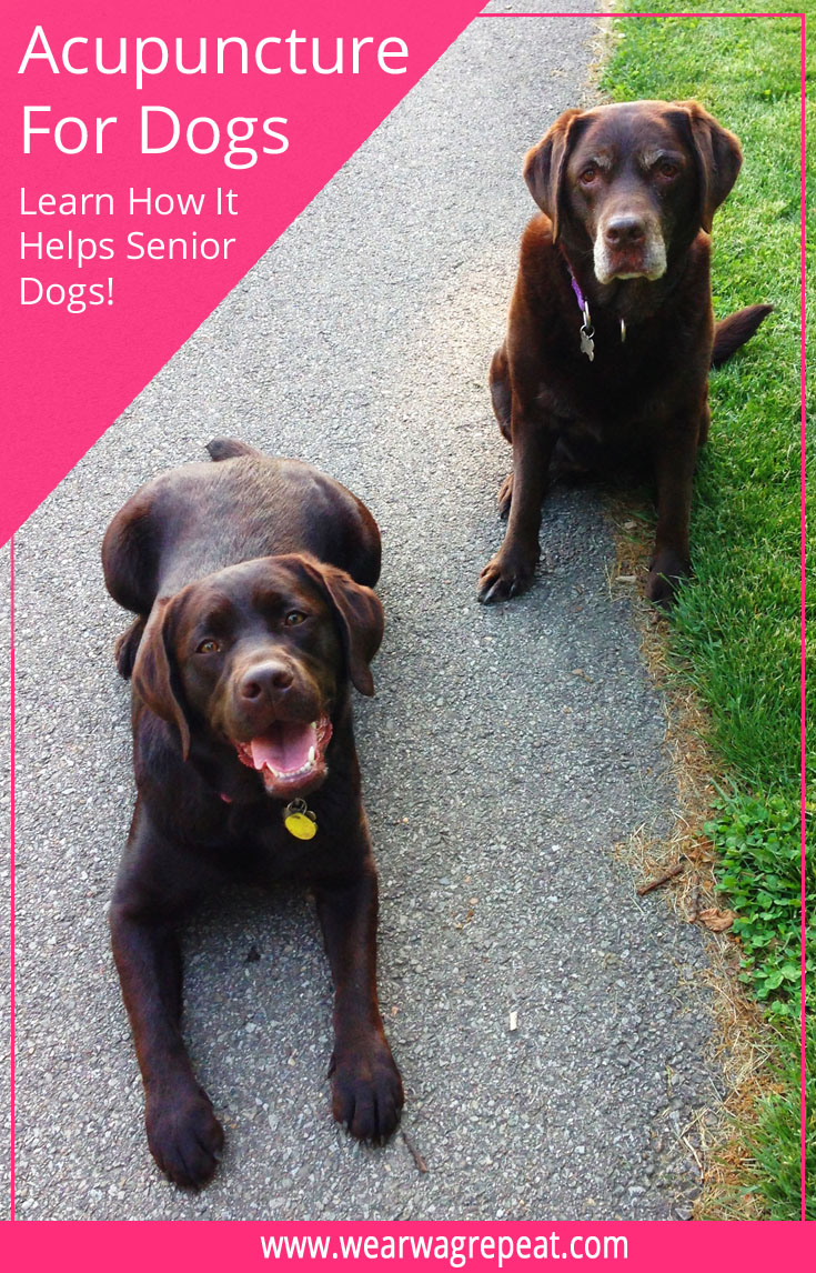 How Acupuncture Benefits Your Senior Dog