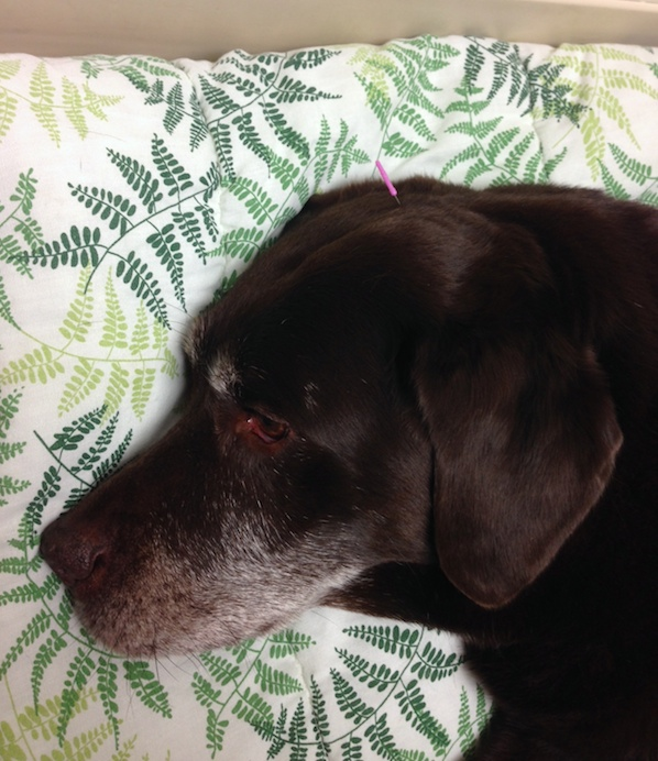 Doggy Acupuncture