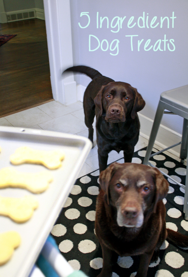 Chocolate Labs begging for treats