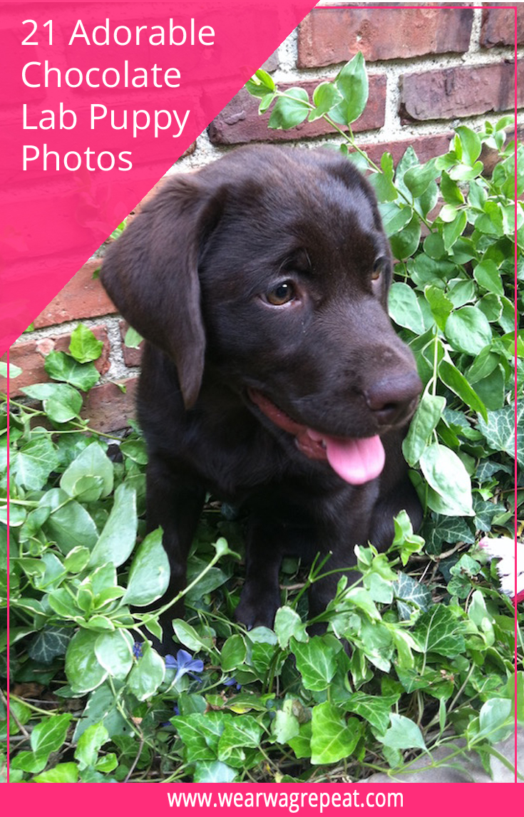 Check out 21 Adorable Chocolate Labrador Puppy Photos! Many from the first day I met Lucy, the first day I got her home and many more memories!