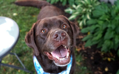 11 Chocolate Labs You Need To Follow on Instagram