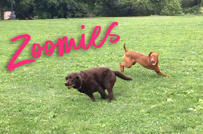 Try Not To Smile When You See a Dog With The Zoomies