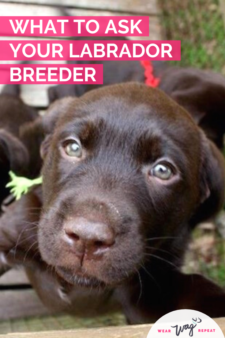 what to ask before you choose a labrador breeder
