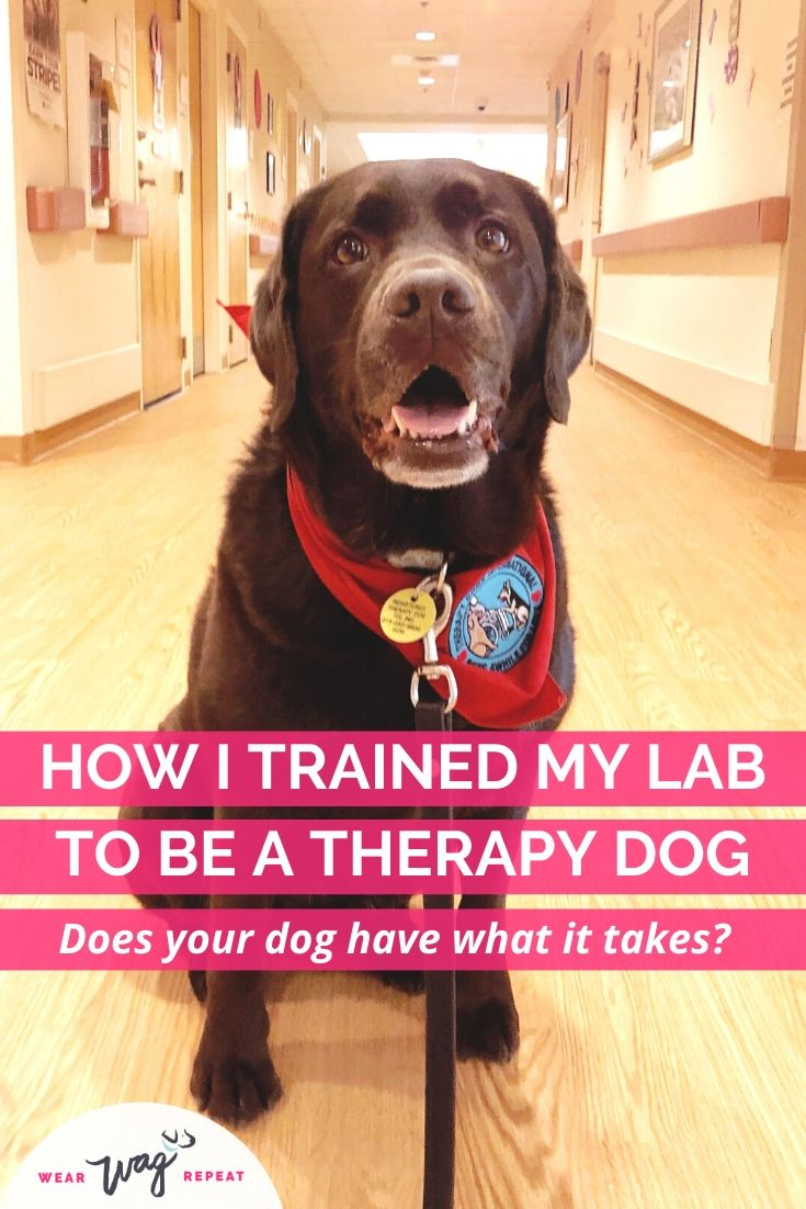 how i trained my lab to be a therapy dog