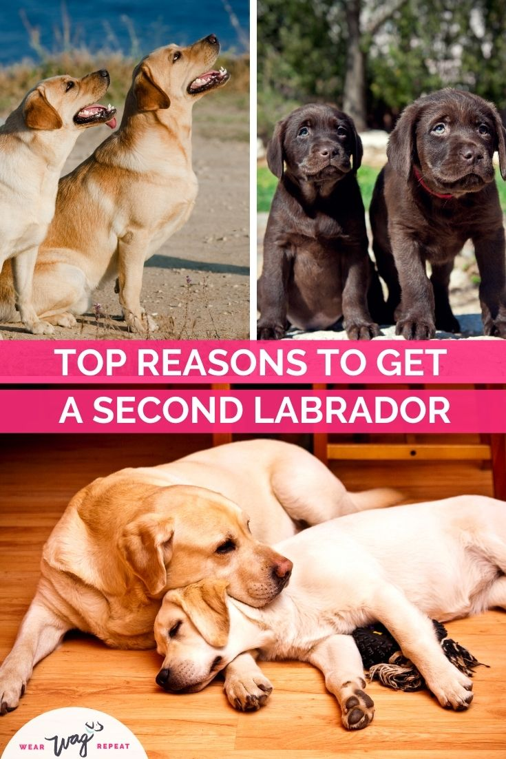 top reasons to get a second labrador